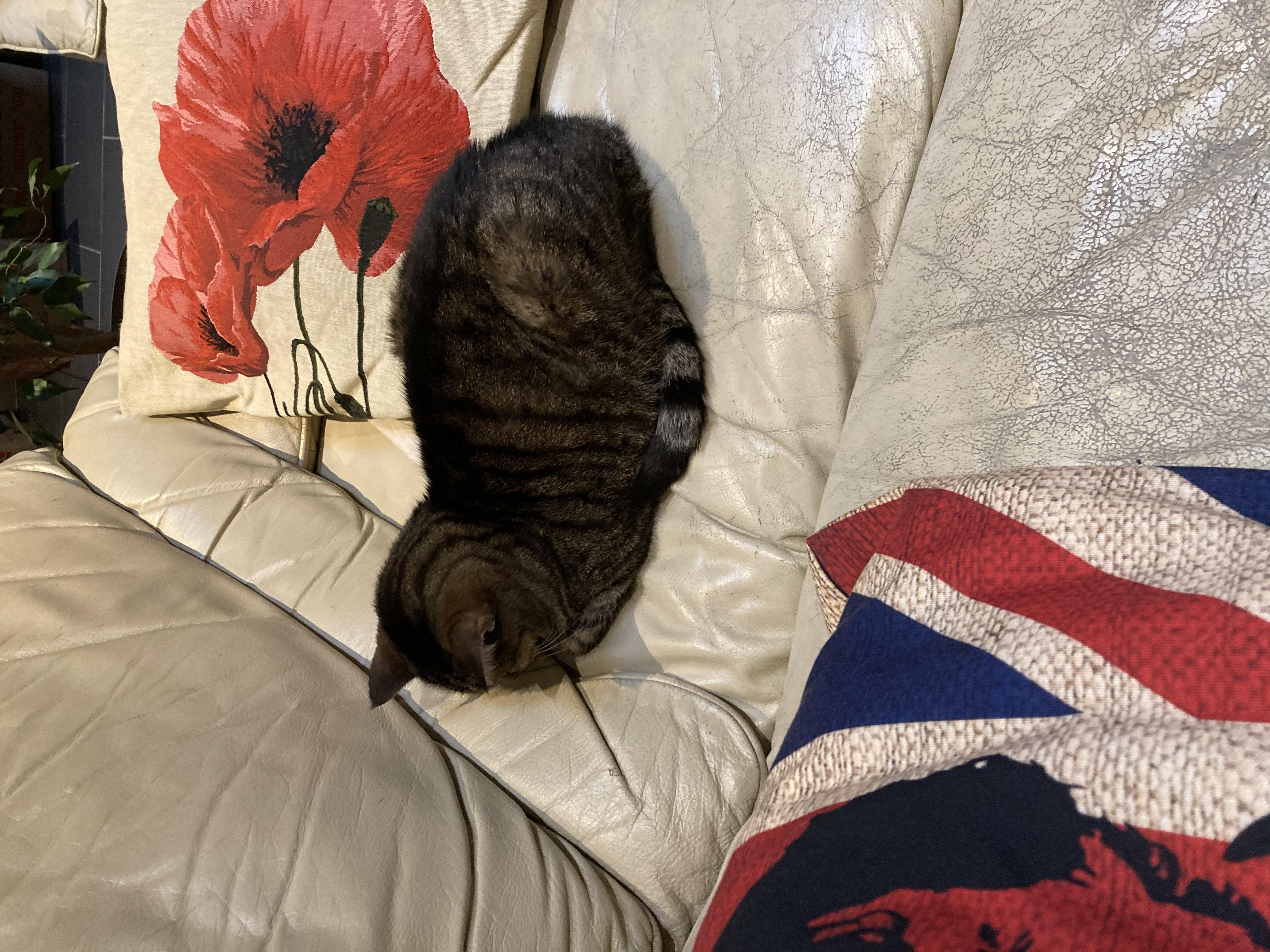 Chat le nez contre le canapé